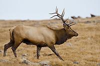 Bull Elk, Trail Ridge Road, Rocky Mountain National Park, Colorado