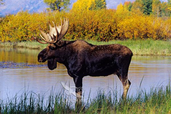Bull moose (Alces alces), Grand Teton National Park, Wyoming.  Fall.