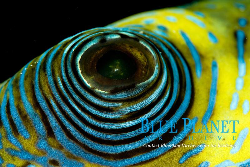 eye of a blue spotted pufferfish, Arothrom caeruleopunctatus, , Wakatobi, Indonesia, Pacific Ocean