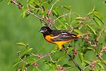 Male Baltimore oriole perched in a choke cherry tree.