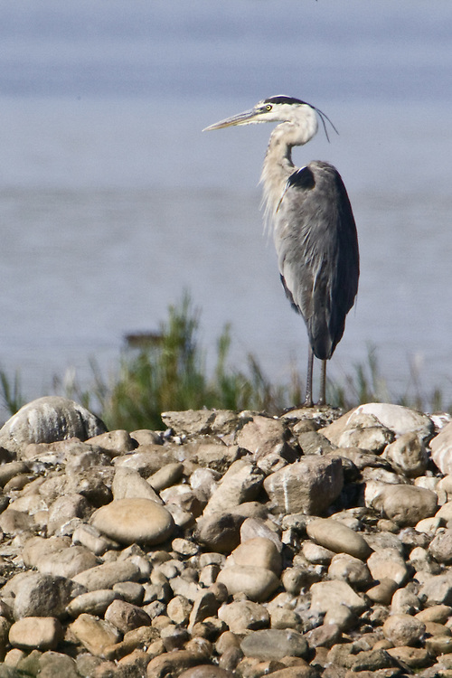 Great Blue Heron standing on a rocky island