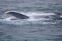 Blue whale Balaenoptera musculus feeding and waving pectoral flipper in the air Spitzbergen Barents sea North east Atlantic