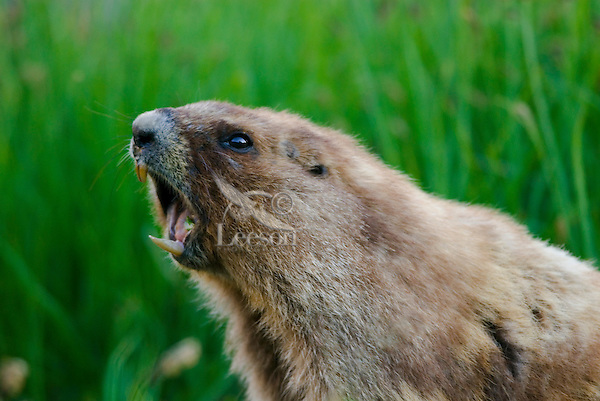 """Olympic Marmot (Marmota olympus) in alpine area of Olympic Mountains, Olympic National Park, Washington.  Summer.  It is often said that marmots """"whistle"""" their warning call, but it is really more of a shrill shriek (sound made with the vocal cords)."""