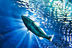 Pacific Codd in sunlight, Oregon Coast Aquarium Newport, Oregon