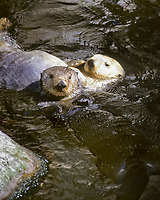 Sea Otters, Enhydra lutris nereis, Endangered status, Montery Bay, California, USA