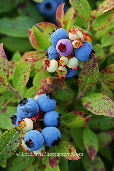 Wild Maine Blueberries  #N10