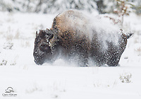 Winter In Yellowstone 2014