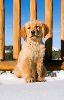 Golden retriever puppy on deck of mountain lodge with snow, wooden railings and blue sky in background