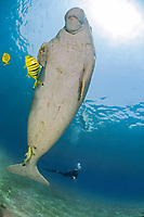 Sea Cow, Dugong dugon, Family Dugongidae, and golden trevally, Gnathodon speciosus, Abu Dabab, Egypt, Red Sea