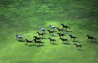 Aerial shot of Arabian Horse herd galloping acroos large open paddock.
