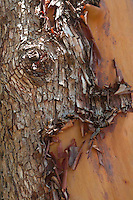 Madrona Tree  (Arbutus menziesii) Bark Detail, San Juan Island, Washington, US