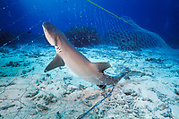 whitetip reef shark, Triaenodon obesus, killed in ghost fishing net, Thailand, Pacific Ocean