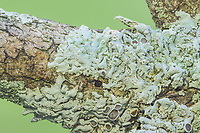 Starry Rosette Lichen (Physcia stellaris), a small, foliose lichen, growing on a tree branch.