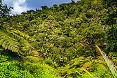 Aoupinié, forêt primaire