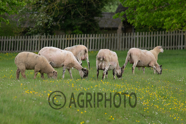 24-5-2021 Ewes and lambs in parkland  <br /> ©Tim Scrivener Photographer 07850 303986<br />      ....Covering Agriculture In The UK....