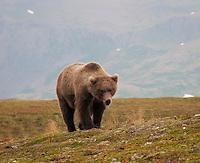 A young grizzly bear in Katmai National Park, Alaska.