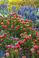 Leucospermum 'Scarlet Ribbon' (Pincushion Protea), orange flowering shrub with Echium in Diana Magor Garden