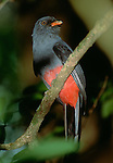 Slaty-tailed trogon, Colombia