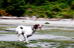 A German Shorthair has fun chasing birds on the beach at Marine View Park, King County, city of Normandy Park, Washington.  On Puget Sound.