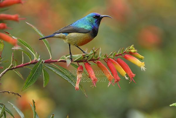 .Sunbird (Nectarinia), adult on flower, Nyungwe Forest National Park, Rwanda