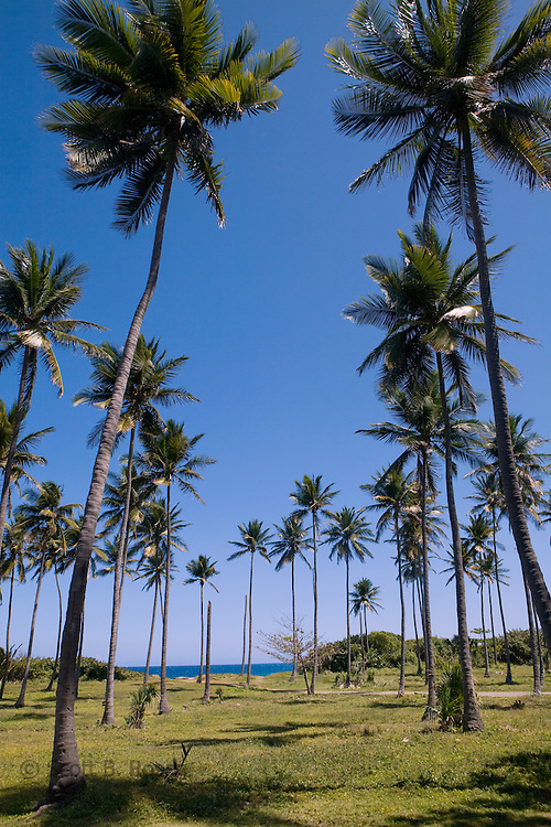 Palm trees reaching to the sky on a bluff near Cofresi, Dominican Republic