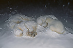 Polar bears sleep curled up close together during a snowstorm in Wapusk National Park, Manitoba, Canada.