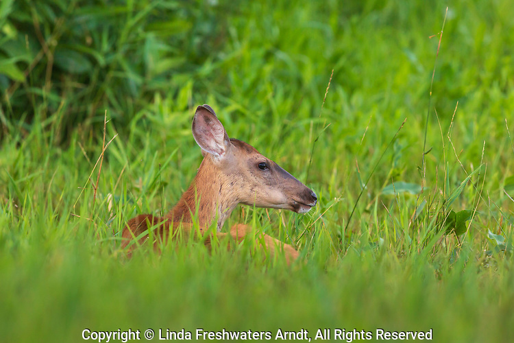 White-tailed doe bedded in a summer field.