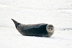 Harp Seal Juvenile on ice floe, Quincy Bay, Massachusetts