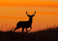 White-tailed Deer (Odocoileus virginianus), buck at sunset, Texas, USA