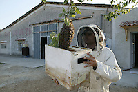 Various techniques are used to recover swarms depending on where they have settled. Under roof tiles, a vacuum cleaner fitted with a box is often the best solution. When the swarm is accessible, a hive need merely be placed below it, and then the swarm made to fall into the box. These operations require a level head, a steady hand, and an excellent understanding of bees.