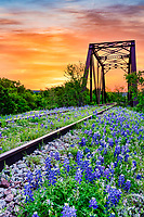 Bluebonnet at Railroad Track Sunrise 3 - We have come to this old abandoned rail road track in the past years for some texas bluebonnets, but this year instead of catching a sunset we decided to try for a sunrise and we got lucky. Today we had a great predawn sunrise over this railroad tressel right before the sunrise pop over the horizon with some fantastic colors in a vertical format. I managed to get a few shot before some heavyier clouds moved in at predawn, but cleared a bit for a sunrise shot later on also. What I loved was the beautiful colorful orange sky behind the tressel. Any case the pre dawn sunrise over these bluebonnets were a great catch in the Texas hill country this year.