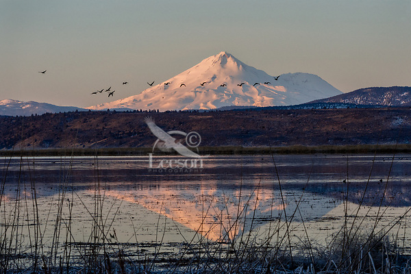 Mount Shasta with Canadian Geese flying over wetland pond during late winter/early spring migration.  Lower Klamath National Wildlife Refuge, California-Oregon border.  Early morning.