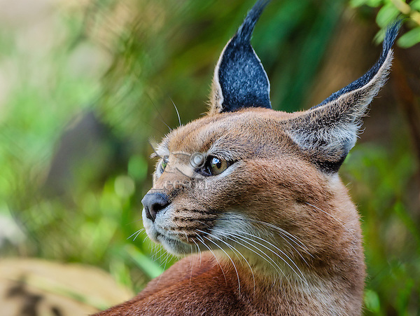 """Caracal (Caracal caracal).  The word """"Caracal"""" comes from the Turkish word """"karakulak"""" which means """"black ear.""""  Found in Africa through Central Asia and India."""