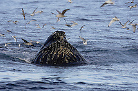 Humpback whale Megaptera novaeangliae bubble net feeding on Capelin and krill Spitzbergen Arctic Norway Kittywakes and Fulmars feeding alongside