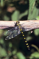 Gestreifte Quelljungfer, Männchen, Cordulegaster bidentata, Sombre Goldenring, Two-toothed Goldenring, male