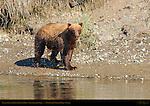 Alaskan Coastal Brown Bear on Bank, Silver Salmon Creek, Lake Clark National Park, Alaska