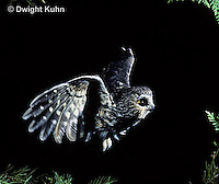 OW07-119z  Saw-whet owl - flying - Aegolius acadicus