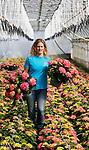 Foto: VidiPhoto<br /> <br /> EST – Bij hortensiakweker Van den Berg in Est bij Geldermalsen komen ze woensdag handen tekort. Letterlijk. Terwijl hortensia's op dit moment niet aan te slepen zijn, moeten de Betuwse plantenkweker alle zeilen bij zetten om de orders weggewerkt te krijgen. Door het koud voorjaar zijn er nauwelijks planten uit te buitenteelt, dus is de vraag naar terrasplanten uit de kas enorm. Door de grote vraag zijn ook de prijzen flink gestegen. Van den Berg produceert dit jaar 1,2 miljoen hortensia's. Probleem is echter het personeel. Steeds meer Poolse werknemers kiezen voor Duitse bedrijven omdat dit dichter bij 'huis' is en ze daar drie maanden lang vrijstelling krijgen van het afdragen van sociale premies. Nederlandse kwekers en telers raken daardoor in de problemen. Nederlandse werklozen weigeren namelijk om in agrarische sector te werken.