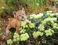 Lynx kitten playing with wildflower