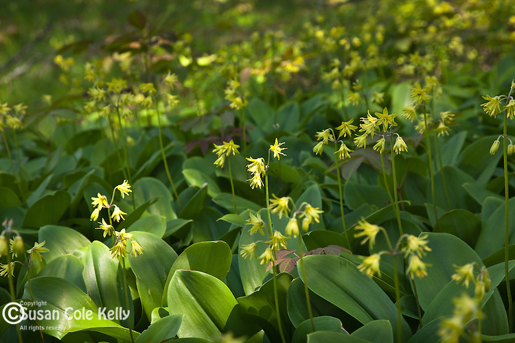 Trout lilies at Schoodic Point, Acadia National Park, ME, USA