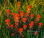 Indian Paintbrush, Castilleja, Point Reyes National Seashore, Burton Wilderness, Marin County, California