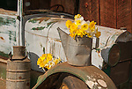 Old truck and bouquets of daffodil flowers, McLaughlin's Daffodil Hill in bloom, Volcano, Calif.