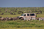 A Micato Safaris vehicle with tourists watching wildebeest and plains zebras during the great migration on the Serengeti plains, Tanzania. [NO MODEL RELEASE]
