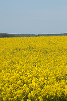 13-5-2021 Oilseed rape flowering on the Lincolnshire Wolds<br /> ©Tim Scrivener Photographer 07850 303986<br />      ....Covering Agriculture In The UK....