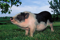 Potbelly pig named jezzebelle, a prizewinner, posing for picture at her breeding farm, Missouri