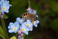Honigbiene, Honig-Biene, Biene, Apis mellifera, Apis mellifica, Blütenbesuch im Garten auf Vergissmeinnicht, Nektarsuche, Blütenbestäubung, honey bee, hive bee