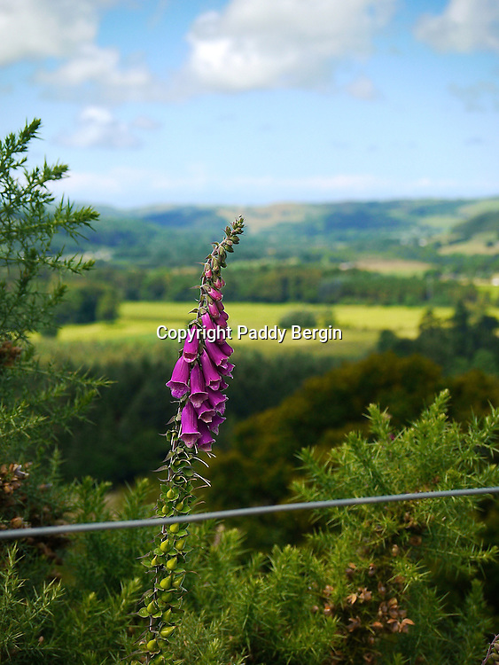 This single Foxglove plant was growing by the side of a path through the farmland now belonging to Aberystwyth University and above the grounds of Trawscoed Estate.<br /> <br /> Stock Photo by Paddy Bergin