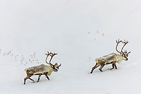 Two bull caribou migrate across the snow covered tundra of  Alaska's Arctic Coastal Plain.