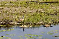 Canadian Goose family, Klamath National Wildlife Refuge, Oregon.  May.