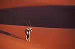 Oryx-Antelope crossing red sand dune at Sossusvlei, Namib-Naukluft National Park, Namib Desert, Namibia